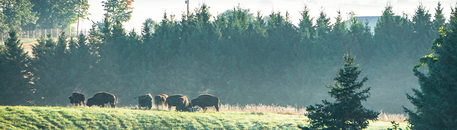 Thunder Ridge Bison Co., Bison Breeding in Uxbridge, Ontario
