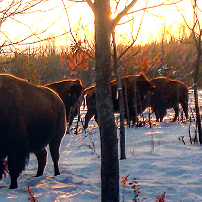 Thunder Ridge Bison Co., Sustainable Farming in Uxbridge, Ontario