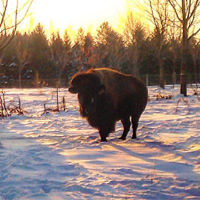 Thunder Ridge Bison Co., Bison Farming in Uxbridge, Ontario