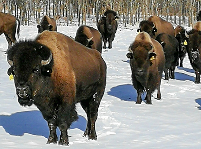 Thunder Ridge Bison Co, All Natural Bison Farming in Ontario