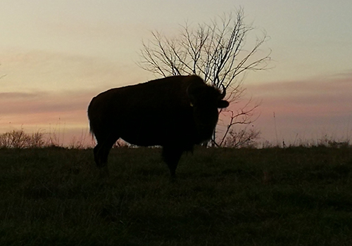 The Oak Ridges Moraine, Thunder Ridge Bison Co., Bison Farming in Ontario