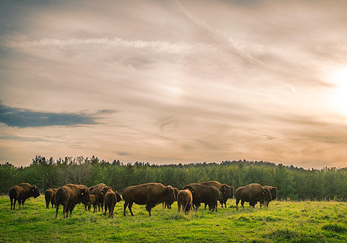 Thunder Ridge Bison Co., Bison Conservation Initiatives, Ontario
